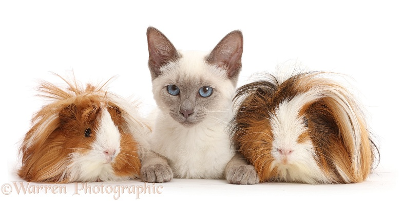 Blue-point Birman-cross kitten with shaggy Guinea pigs, white background