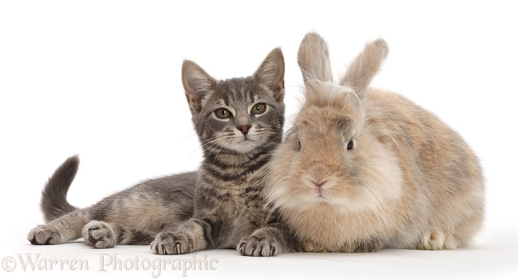 Grey tabby kitten and fluffy bunny, white background