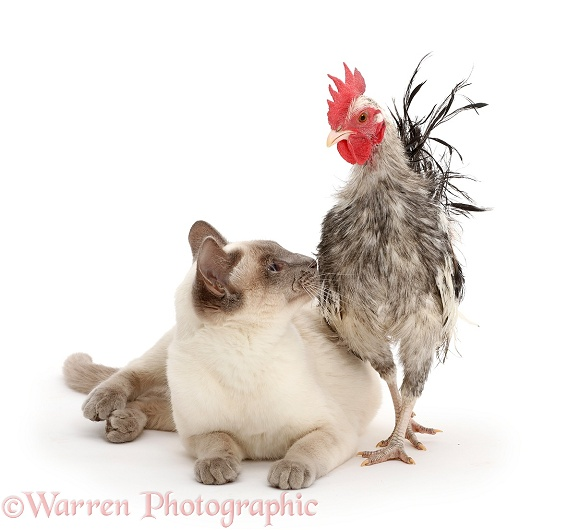 Silkie Serama Chicken and Birman-cross cat, white background