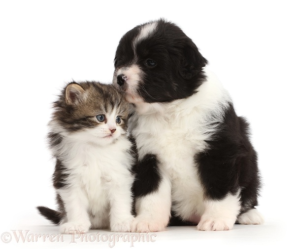 Miniature American Shepherd puppy snuggling with a kitten, white background