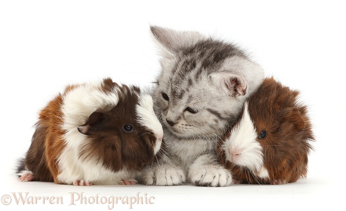 Silver tabby kitten with baby Guinea pigs, white background