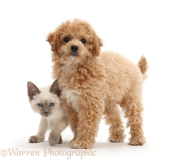 Cavachondoodle pup and Birman-cross kitten, white background