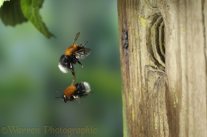 Tree Bumblebee (Bombus hypnorum) workers approaching nest in bird box