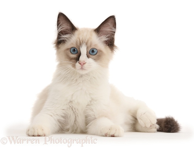 Ragdoll kitten, 10 weeks old, white background