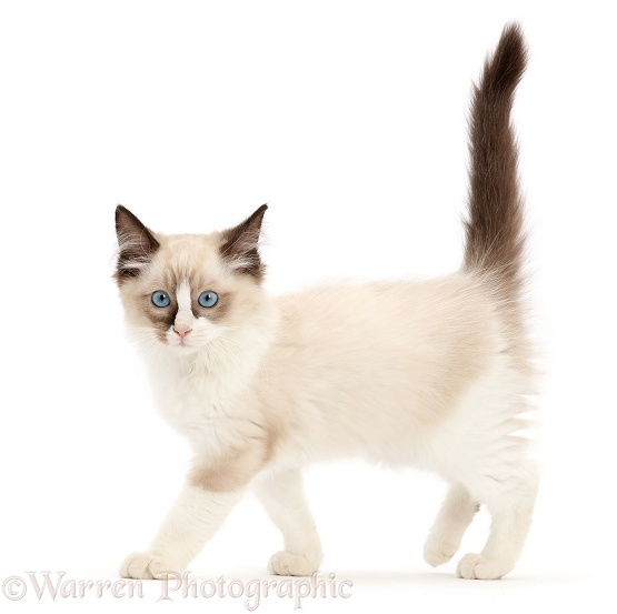 Ragdoll kitten, 10 weeks old, walking, white background