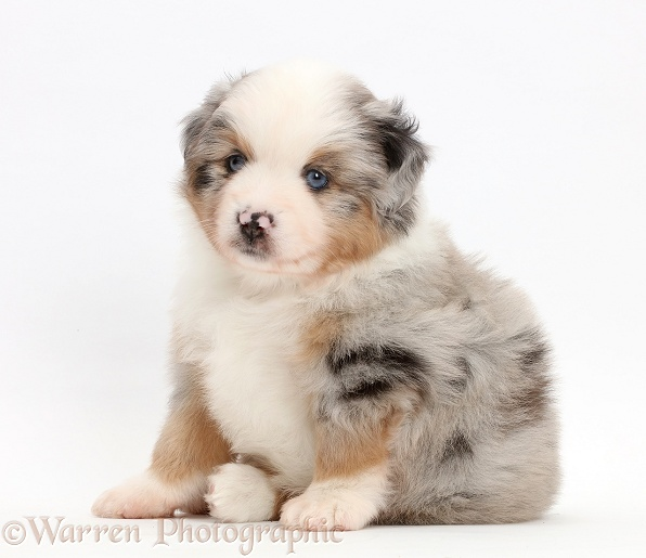 Mini American Shepherd puppy sitting, white background