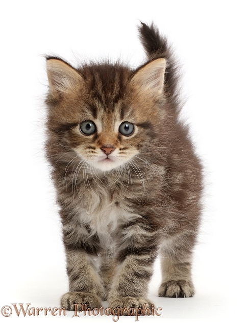 Brown tabby kitten, 6 weeks old, white background
