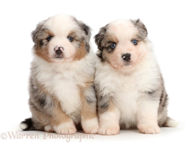 Mini American Shepherd puppies, white background