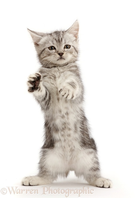 Silver tabby kitten, 10 weeks old, standing up, white background