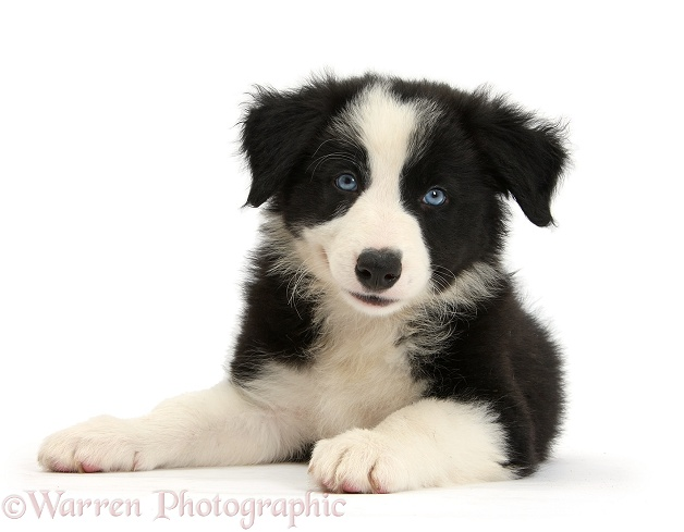 Black-and-white blue-eyed Border Collie pup lying with head up, white background