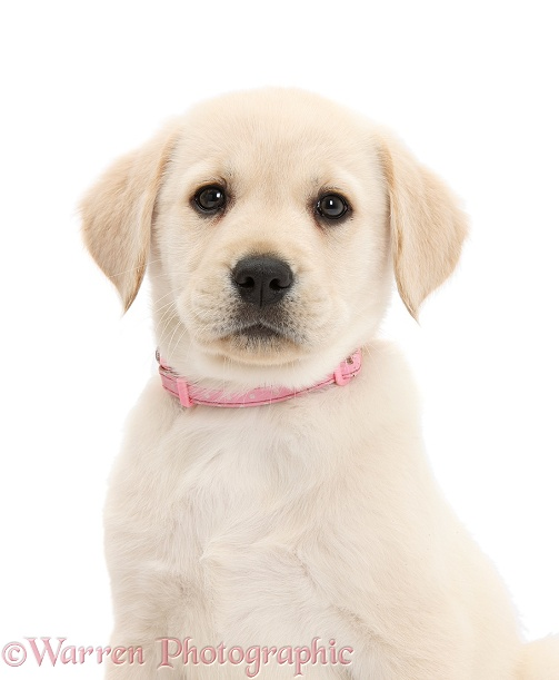Yellow Labrador Retriever puppy, 8 weeks old, with pink collar on, white background