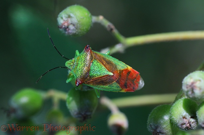 Hawthorn Shieldbug (Acanthosoma haemorrhoidale) adult on Rowan berries