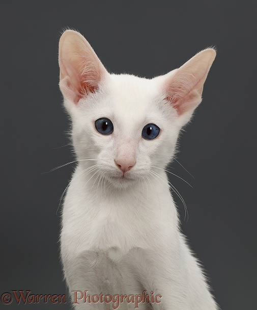 White Oriental Cat Photography