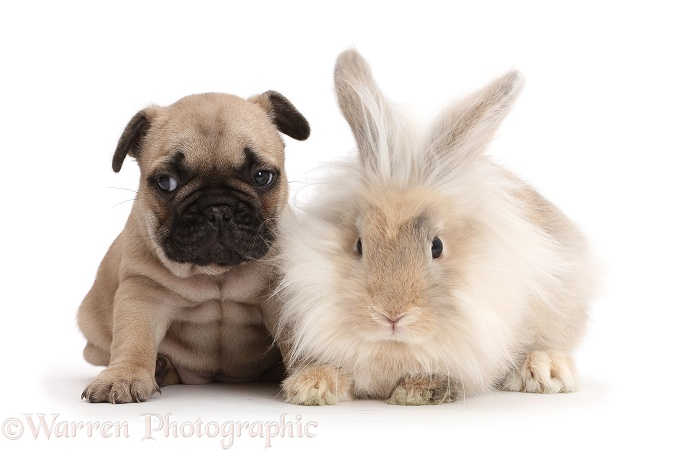 French Bulldog puppy with fluffy bunny, white background