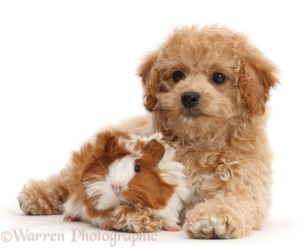 Cavachondoodle pup and Guinea pig, white background
