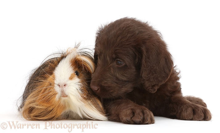 Chocolate Labradoodle puppy and Guinea pig, white background