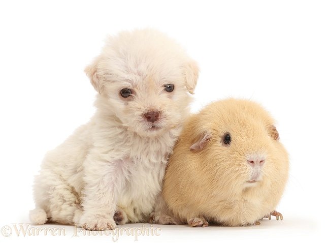Golden Labradoodle runt puppy and Guinea pig, white background