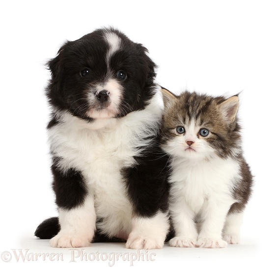 Miniature American Shepherd puppy with a kitten, white background