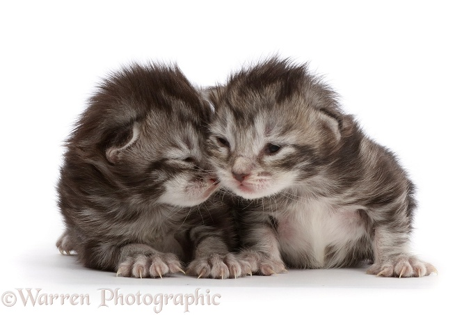 Silver tabby kittens, Freya and Blaze, 8 days old, white background