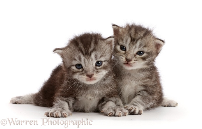 Silver tabby kittens, Freya and Blaze, 2 weeks old, white background