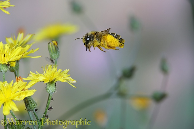 Hairy-legged Mining Bee (Dasypoda hirtipes) female collecting pollen from Smooth Hawksbeard (Crepis capillaris) flowers