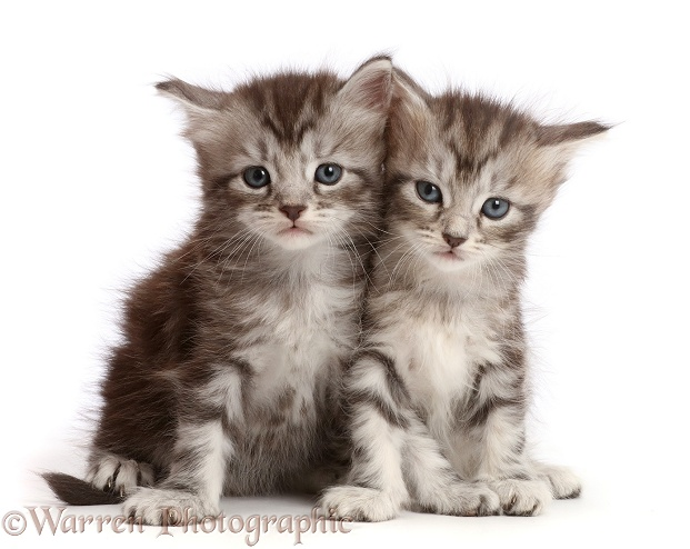 Silver tabby kittens, Freya and Blaze, 4 weeks old, white background