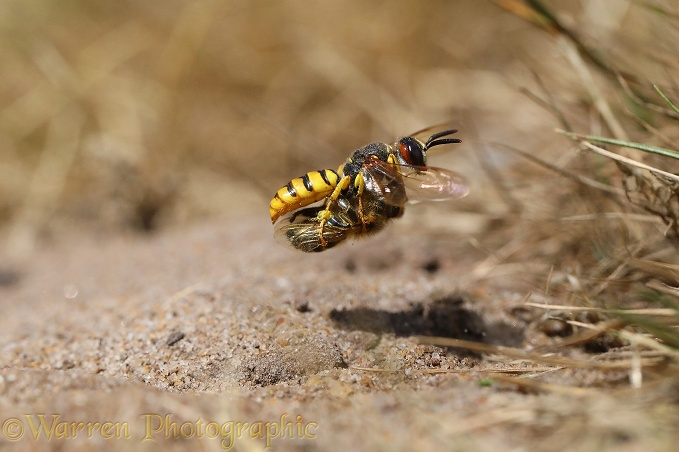 Bee-killer Wasp (Philanthus triangulum) approaching burrow with honey bee prey