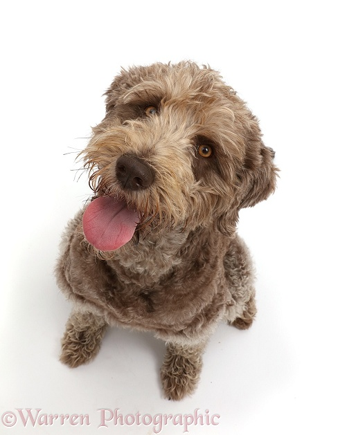 Labradoodle sitting, white background