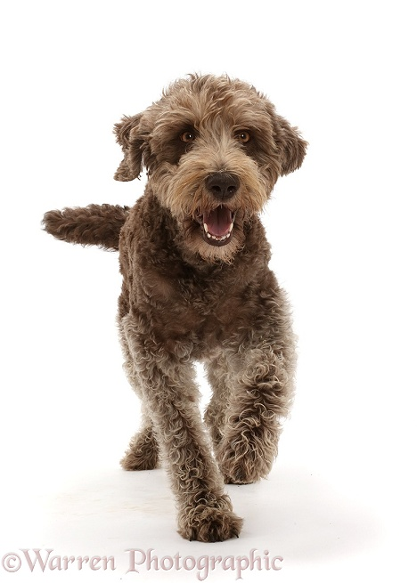 Labradoodle running, white background