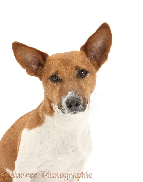 Jack Russell Terrier dog, Rockie, white background