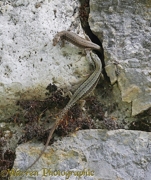 Common Wall Lizard (Podarcis muralis) pair sharing a rock crevice