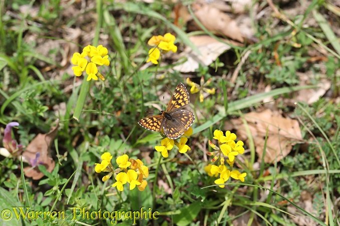 Duke Of Burgundy (Hamearis lucina) on Bird's foot Trefoil