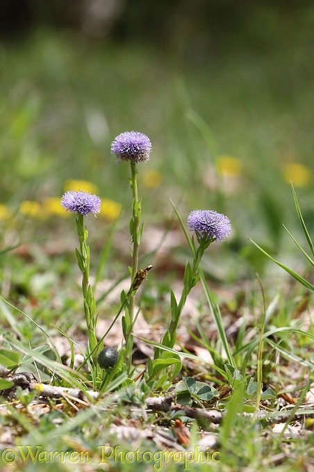 Common Globularia (Globularia vulgaris)