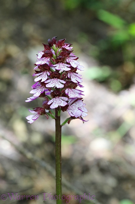 Lady Orchid (Orchis purpurea) growing beside a chalk stream