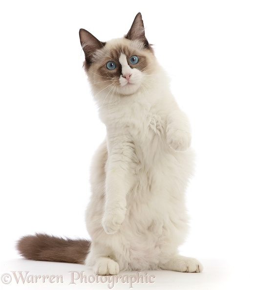 Ragdoll kitten, 4 months old, standing up on haunches, white background