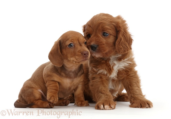 Red Dachshund puppy and Cavapoo puppy, white background