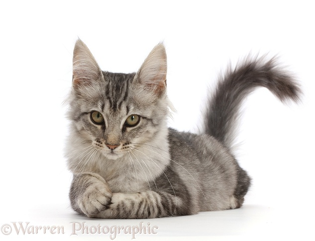 Mackerel Silver Tabby cat, lying with head up, white background