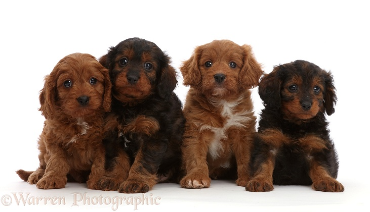 Four Cavapoo puppies, 7 weeks old, sitting, white background