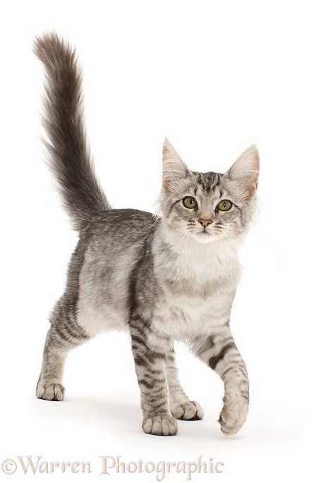 Mackerel Silver Tabby cat, walking with tail up, white background