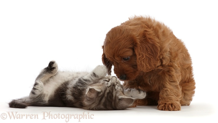 Cavapoo puppy and silver tabby kitten, Freya, 5 weeks old, white background