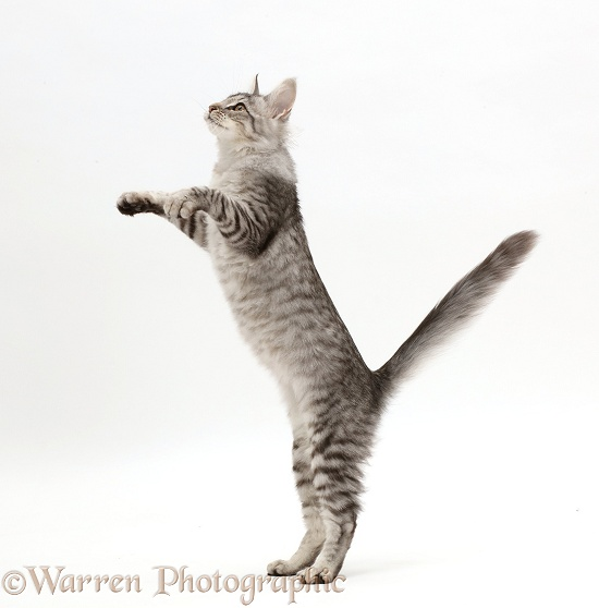 Mackerel Silver Tabby cat, playfully jumping up, white background