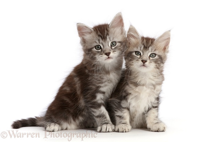 Silver tabby kittens, Freya and Blaze, 6 weeks old, white background