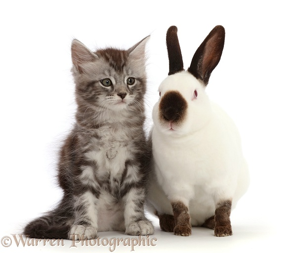 Silver Tabby kitten, Blaze, 7 weeks old, and Sable point rabbit, white background