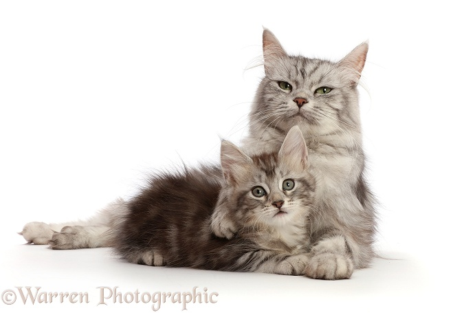 Silver tabby cat, Shimmer, with her kitten, Freya, 7 weeks old, white background