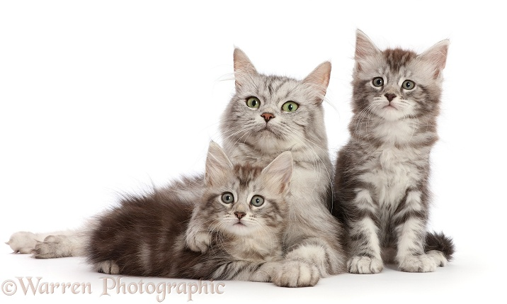 Silver tabby cat, Shimmer, with her two kittens, Freya and Blaze, 7 weeks old, white background