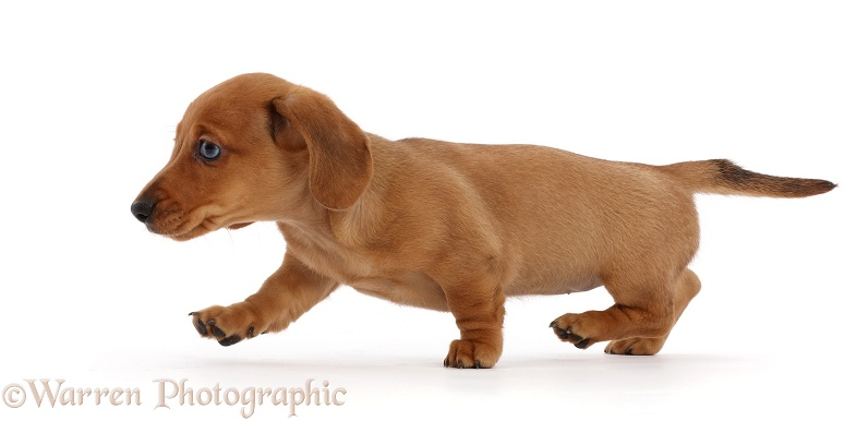 Red Dachshund puppy walking across, white background