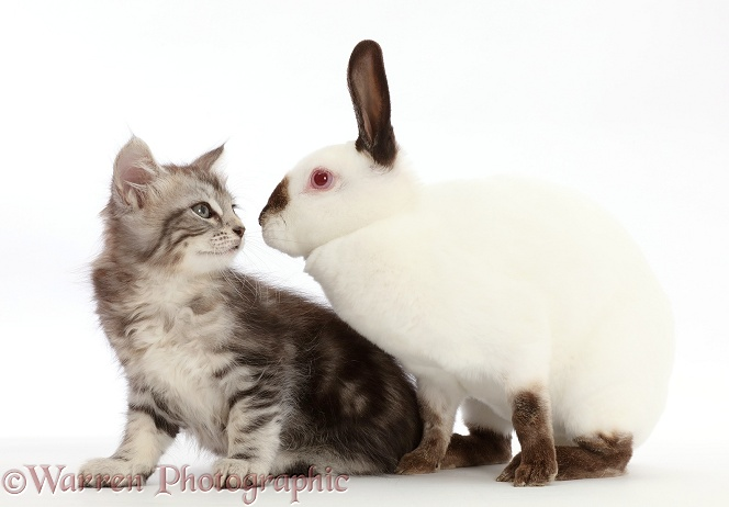 Silver Tabby kitten, Freya, 7 weeks old, and Sable point rabbit, white background