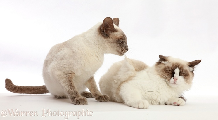 Blue-point Birman-cross cat bossing Ragdoll cat, white background