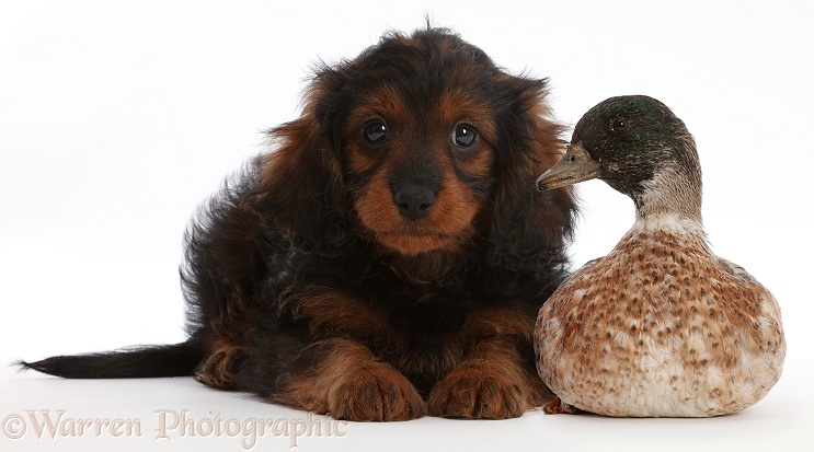 Cavapoo puppy and call duck, white background