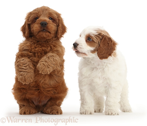 Two Cavapoo puppies, one sitting up and begging, white background